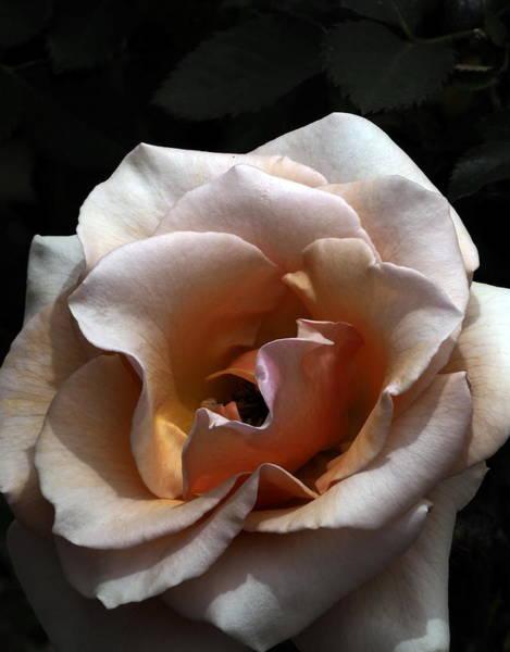 Golden Rose Unfurled  Art Print
