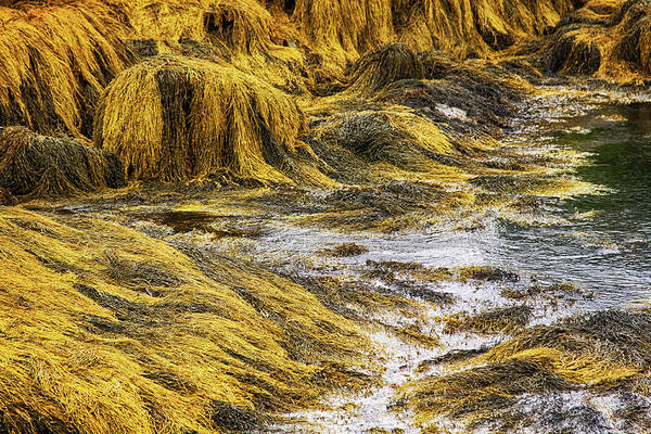 Photograph - Golden Seaweed At Low Tide by Tatiana Travelways