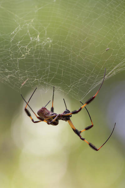 Photograph - Golden-silk Spider by Paul Rebmann