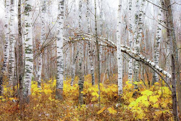 Birch Photograph - Golden Slumbers by Mary Amerman