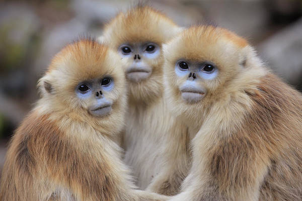 Wall Art - Photograph - Golden Snub-nosed Monkey Rhinopithecus by Cyril Ruoso
