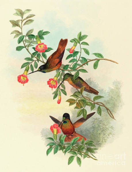 Wall Art - Painting - Golden Star Frontlet by John Gould