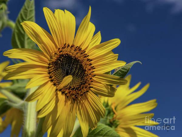 Photograph - Golden Sunflower by Lois Bryan