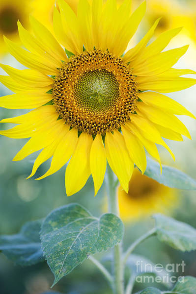 Sunflowers Photograph - Golden Sunflower by Tim Gainey