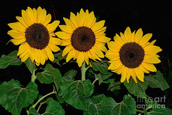 Wall Art - Photograph - Golden Sunflowers On Black By Kaye Menner by Kaye Menner
