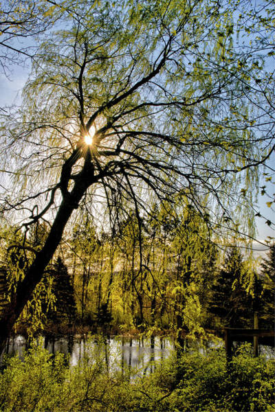 Photograph - Golden Sunlight Through Green Tree by Christina Rollo