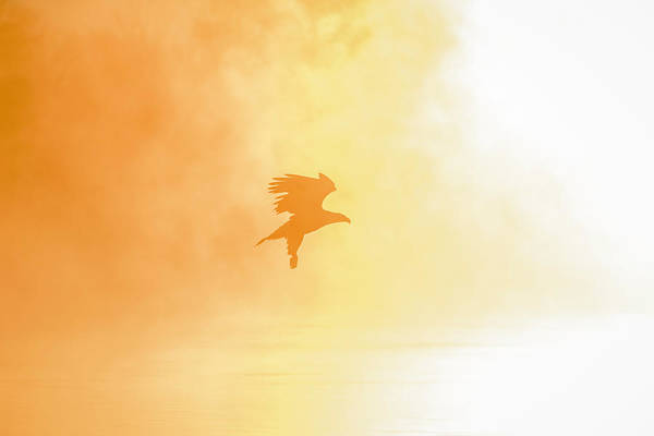 Wall Art - Photograph - Golden Sunrise And Eagle  2016-2 by Thomas Young