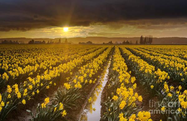 Wall Art - Photograph - Golden Sunset Daffodil Fields Light by Mike Reid