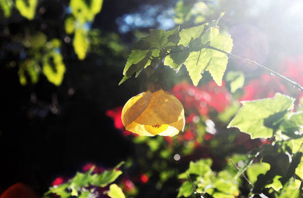 Photograph - Golden Sunshine by Susan Vineyard