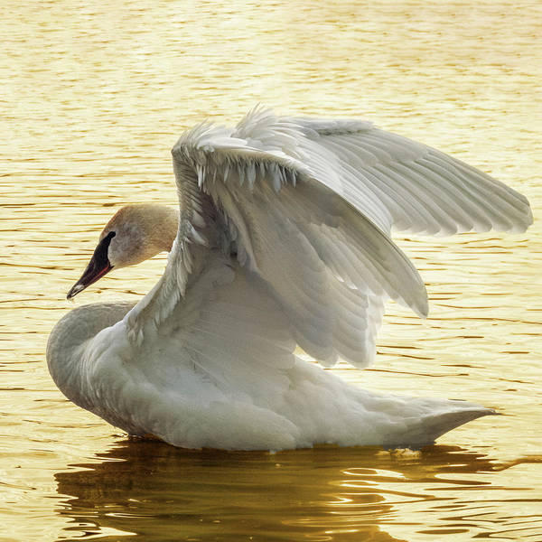 Photograph - Golden Swan 1 by Patti Deters
