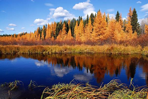 Photograph - Golden Tamaracks Along The Spruce River by Larry Ricker