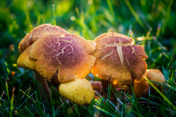 Photograph - Golden Toadstool by Chris Bordeleau