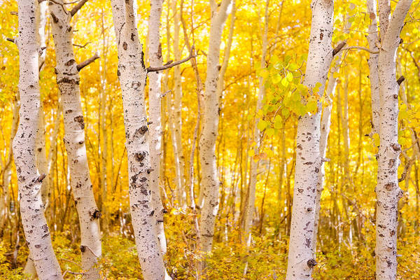 Photograph - June Lake - Aspen Trees - Golden Trees by Francesco Emanuele Carucci