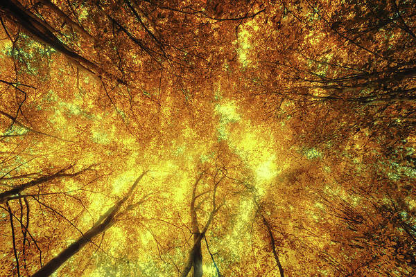 Photograph - Golden Trees Of Endless Dreams by John Williams