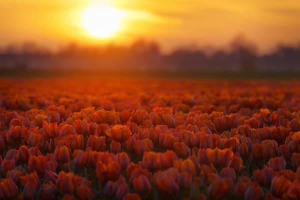 Dutch Tulip Photograph - Golden Tulips by Martin Podt