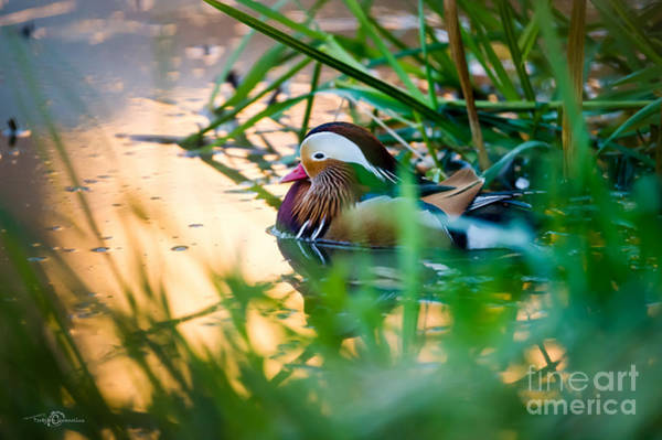 Mandarin Duck Photograph - Golden Water by Torbjorn Swenelius