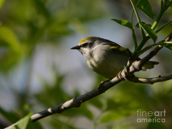 Photograph - Golden-winged Warbler by Charles Owens