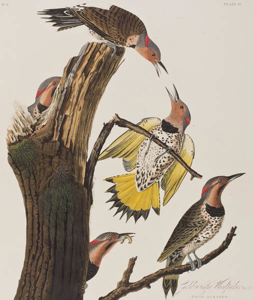 Stump Painting - Golden-winged Woodpecker by John James Audubon