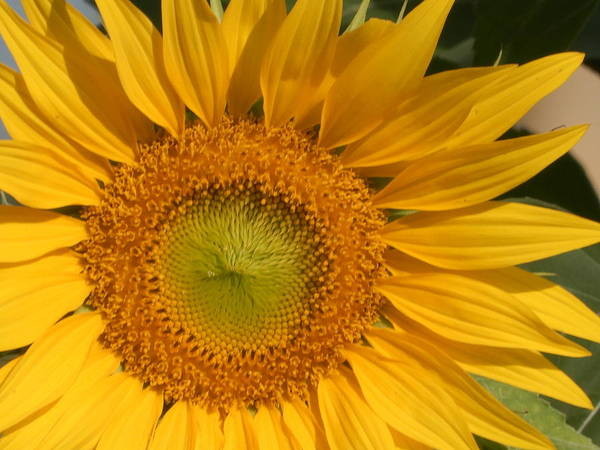 Photograph - Golden Yellow Of 2018 by Tina M Wenger