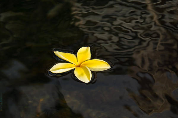 Photograph - Golden Yellow - Sparkling Plumeria Blossom In Dark Waters by Georgia Mizuleva