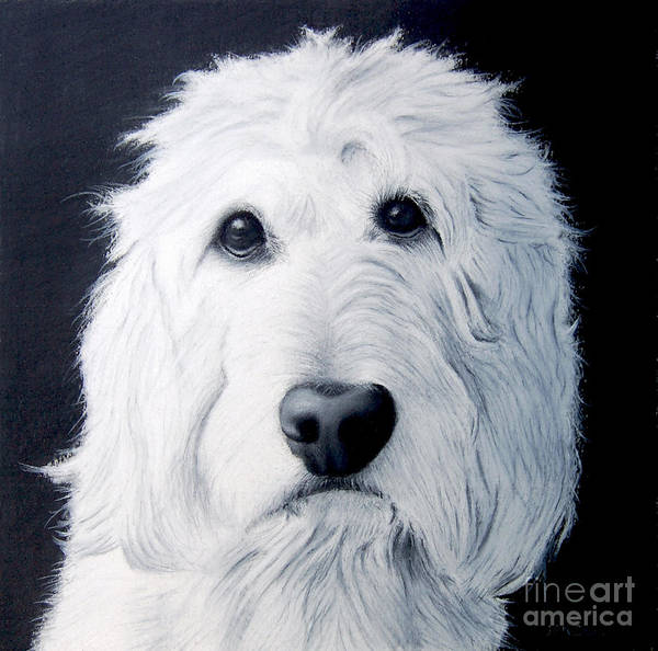 Golden Retriever Drawing - Goldendoodle Portrait by John Small