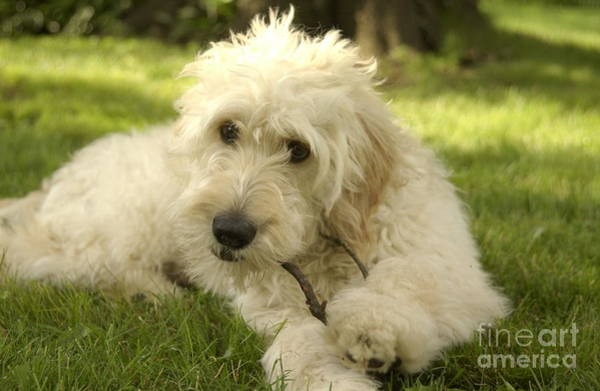 Fetch Photograph - Goldendoodle Puppy And Stick by Anna Lisa Yoder