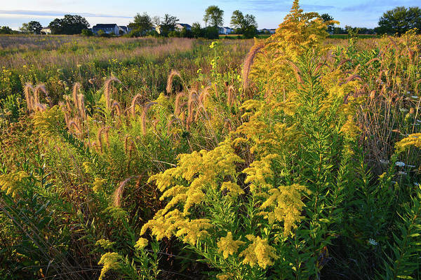 Photograph - Goldenrod And Grasses At Kishwaukee Headwaters by Ray Mathis