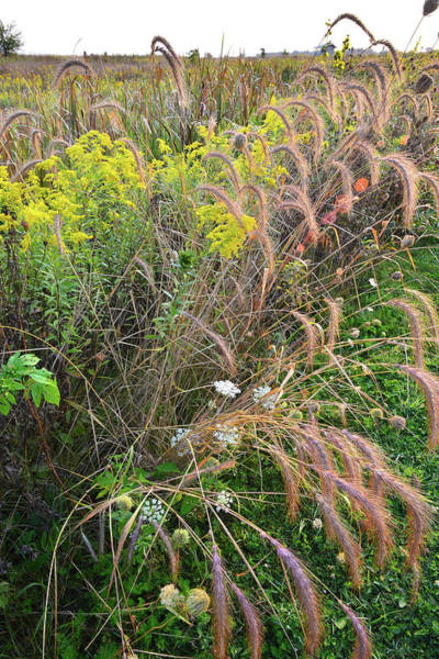 Photograph - Goldenrod And Grasses In Kishwaukee Headwaters by Ray Mathis