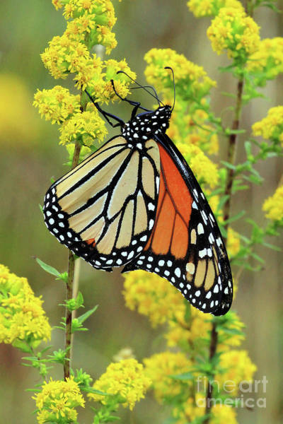Photograph - Goldenrod And The Monarch by Jennifer Robin