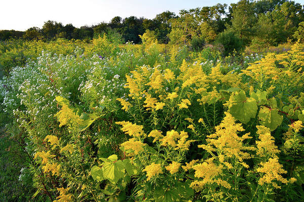 Photograph - Goldenrod At Sunset At Brookdale by Ray Mathis