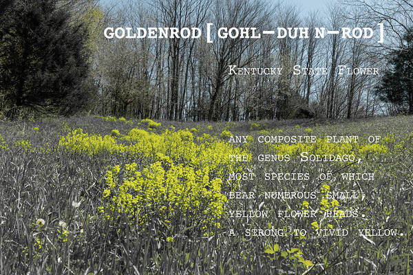 Photograph - Goldenrod By Definition Kentucky by Sharon Popek