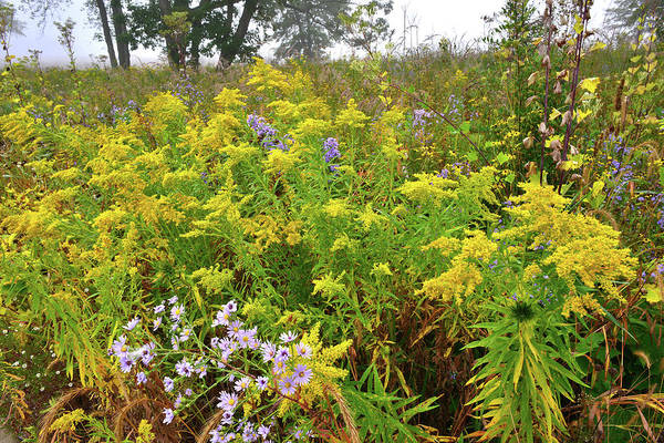 Photograph - Goldenrod Garden In Glacial Park by Ray Mathis