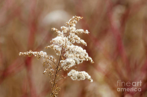 Photograph - Goldenrod In Fall by Les Palenik