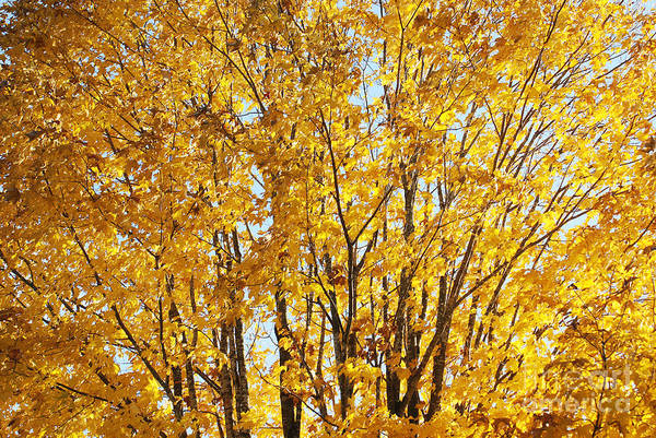 Wall Art - Photograph - Goldenyellows by Aimelle