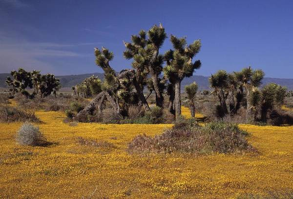 Photograph - Goldfields And Joshua Trees by Don Kreuter