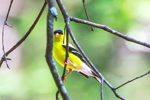 Photograph - Goldfinch 2016 04 by Jim Dollar