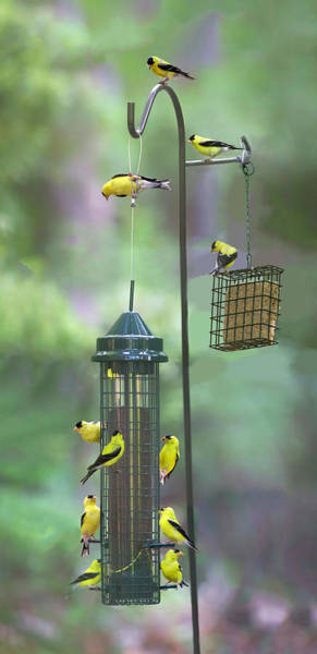 Photograph - Goldfinch 2016 13 by Jim Dollar