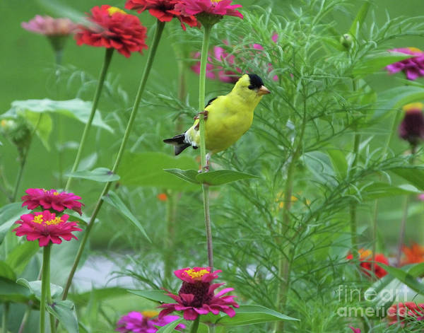 Photograph - Goldfinch 22 by Lizi Beard-Ward