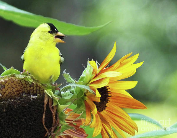 Photograph - Goldfinch 28 by Lizi Beard-Ward