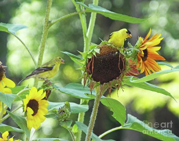 Photograph - Goldfinch 30 by Lizi Beard-Ward