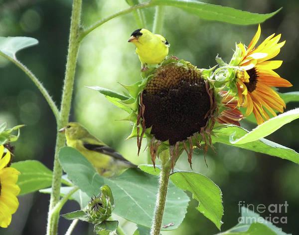 Photograph - Goldfinch 36 by Lizi Beard-Ward