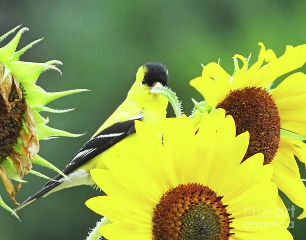 Photograph - Goldfinch 60 by Lizi Beard-Ward