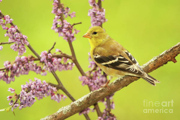 Wall Art - Photograph - Goldfinch Among Redbud by Max Allen