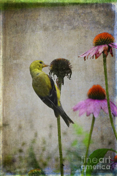 Wall Art - Photograph - Goldfinch Feeding On Coneflowers by Mary Machare