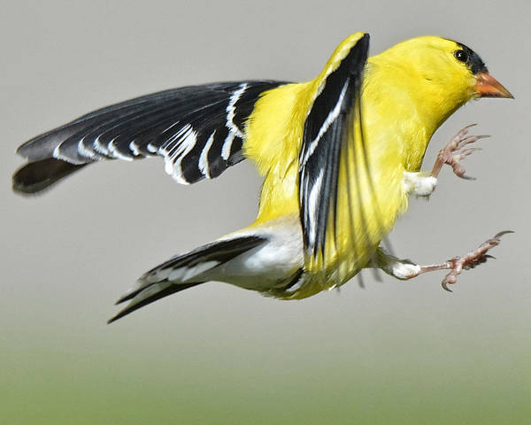 Photograph - Goldfinch by Fiskr Larsen