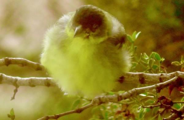 Photograph - Goldfinch Fluffball 1 by Judy Kennedy