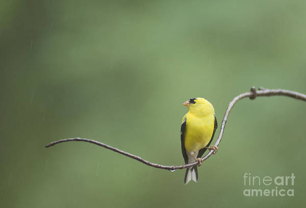 Photograph - Goldfinch II by David Waldrop