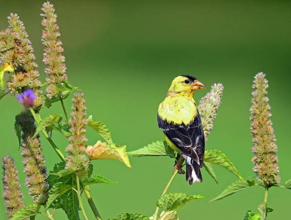 Photograph - Goldfinch In A Flower Garden by Rodney Campbell