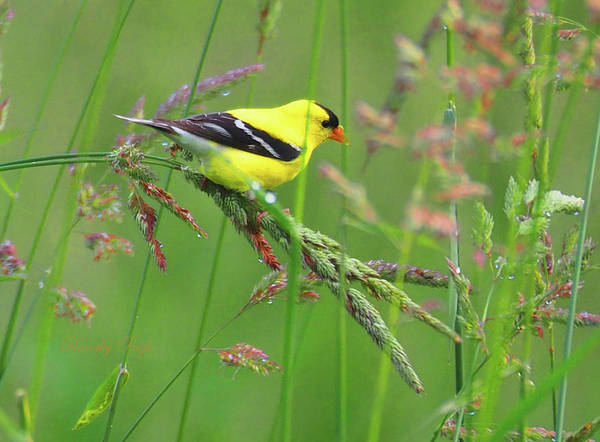 Photograph - Goldfinch In A Meadow by Dorothy Pugh