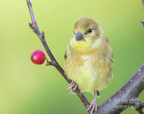 Photograph - Goldfinch In The Backyard by Ricky L Jones
